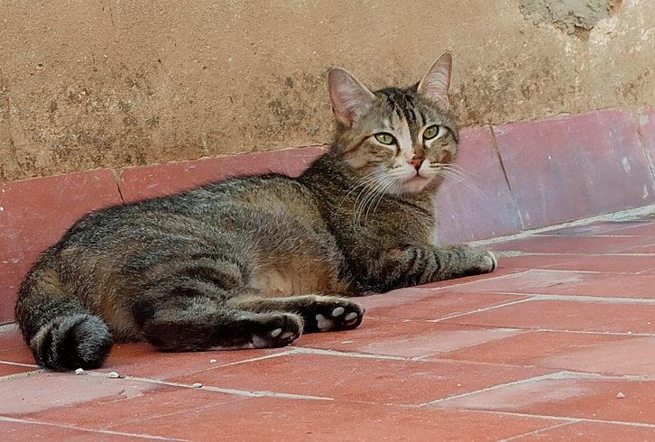 ¿Qué es el Virus de la Inmunodeficiencia Felina (VIF)?